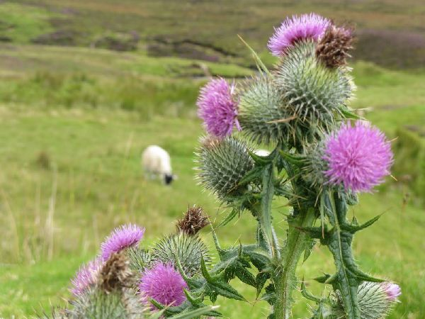 Fabulous Friday Foto: Scottish Highlands Pictures of Sheep and Thistle