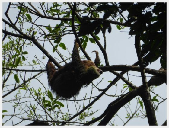 Mistico Arenal Hanging Bridges Park - Sloth in a Tree