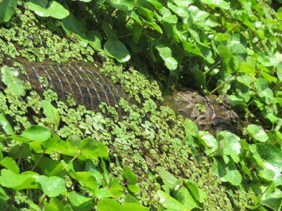 Caiman in Tortuguero National Park