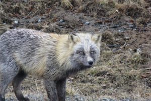 Fabulous Friday Foto: Fox in Kodiak Alaska