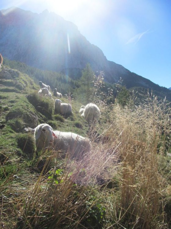 Sheep at the top of the Vrsic Pass.