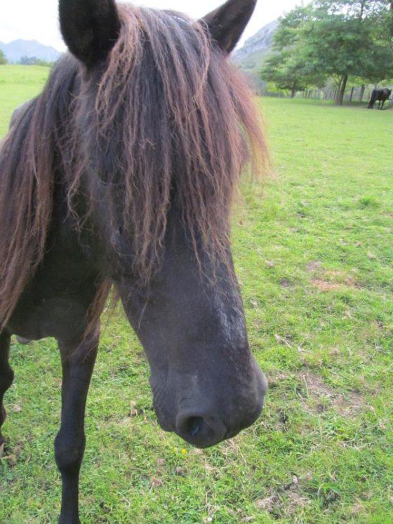 Beautiful Asturias ponies on the farm.